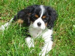 Mirabelle, chien Cavalier King Charles Spaniel