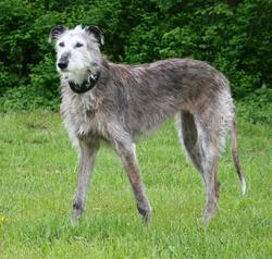 Lane, chien Lévrier espagnol