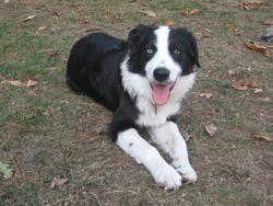 Ela'an, chien Border Collie