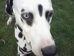 Léo, chien Dalmatien