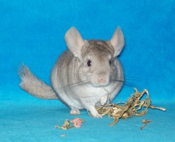 Guilly , rongeur Chinchilla