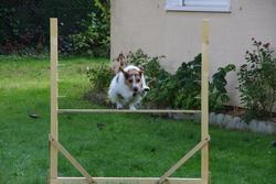 Dooky Du Bois Des Carnutes, chien Parson Russell Terrier