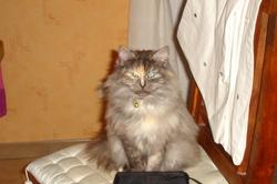 Chipie, chat