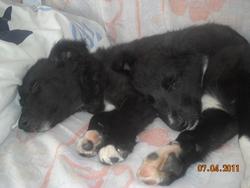 Océane, chien Border Collie