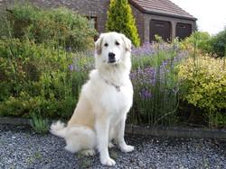 Tessy, chien Chien de montagne des Pyrénées