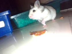 Miya, rongeur Hamster