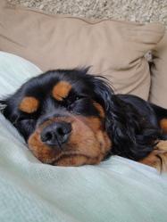 Woody, chien Cavalier King Charles Spaniel