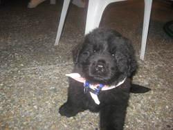 Erkan, chien Terre-Neuve