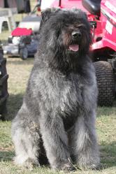 Enzo, chien Bouvier des Flandres