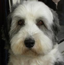 Anakine, chien Bearded Collie
