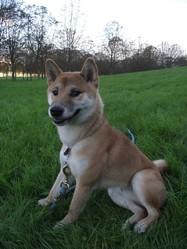 Eiki, chien Shiba Inu