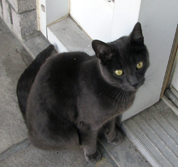 Étoile, chat Chartreux