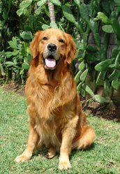 Gips, chien Golden Retriever