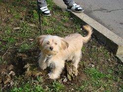 Flint, chien Yorkshire Terrier