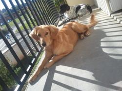 Nala, chien Hovawart