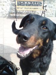 Bourka, chien Beauceron