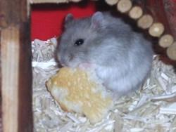 Eliott, rongeur Hamster