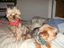 Romy, chien Yorkshire Terrier