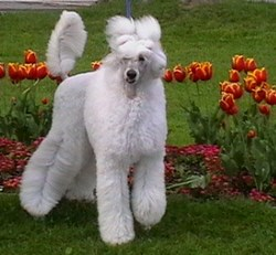 Diamantine, chien Caniche