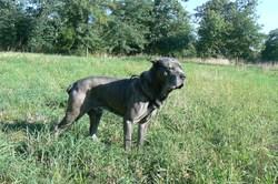 Phalo, chien Cane Corso