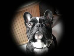 Tango, chien Bouledogue français