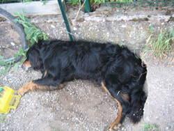 Roméo, chien Setter Gordon