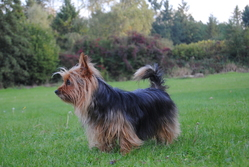 Cannelle, chien Silky Terrier