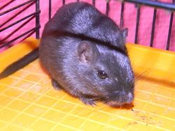 Fiona, rongeur Gerbille