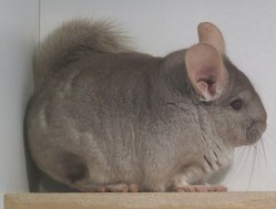 Fidji, rongeur Chinchilla