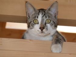 Mac-Intosh, chat Gouttière