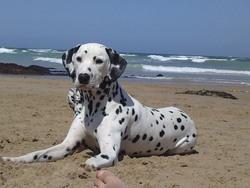 Guapa, chien Dalmatien