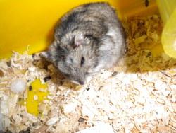 Grizou, rongeur Hamster
