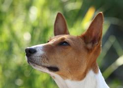 Shaba, chien Basenji