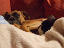 Tosca, chien Boxer