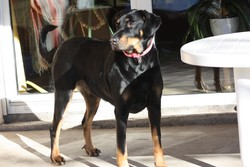 Thes, chien Beauceron