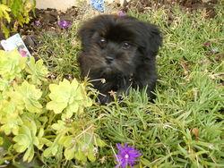 Chipie, chien Lhassa Apso