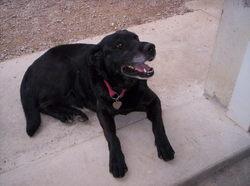 Kuma, chien Labrador Retriever