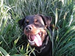 Xena, chien Rottweiler