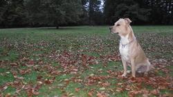 Kayzer, chien American Staffordshire Terrier