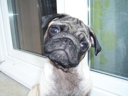 Gloubi-Boulga, chien Carlin