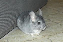 Doumi, rongeur Chinchilla