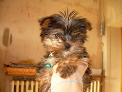 Lybo, chien Yorkshire Terrier