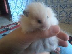 Je Ne C'est Pas Pour Le Moment, rongeur Hamster