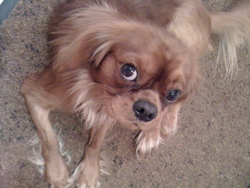 Dalton, chien Cavalier King Charles Spaniel
