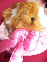 Mandy, rongeur Cochon d'Inde