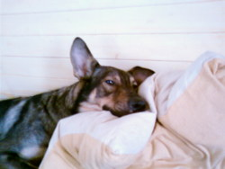 Manitou, chien Chien-loup tchèque