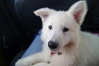 Luna, chien Berger blanc suisse