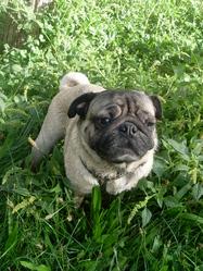 Boulette, chien Carlin