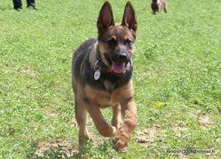Fibie, chien Berger allemand