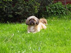 Tannis, chien Shih Tzu